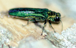 Emerald Ash Borer. Photo from ODNR.
