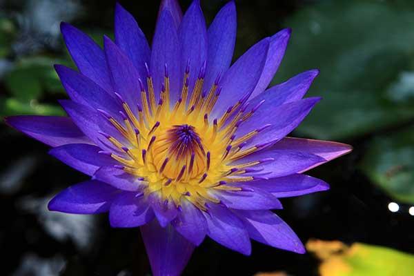 DRIP Botanical Tea Bar Blue Lotus Flower Tea