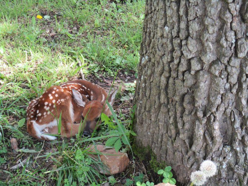 Fawn hiding near tree