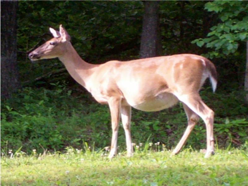 Momma deer standing in yard