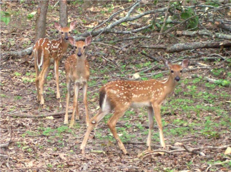 Three fawns at the cove homes
