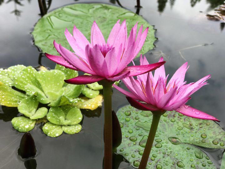 Welcome to the Wonderful World of Water Lilies!