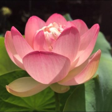 Pink Sacred China Lotus Green Pads