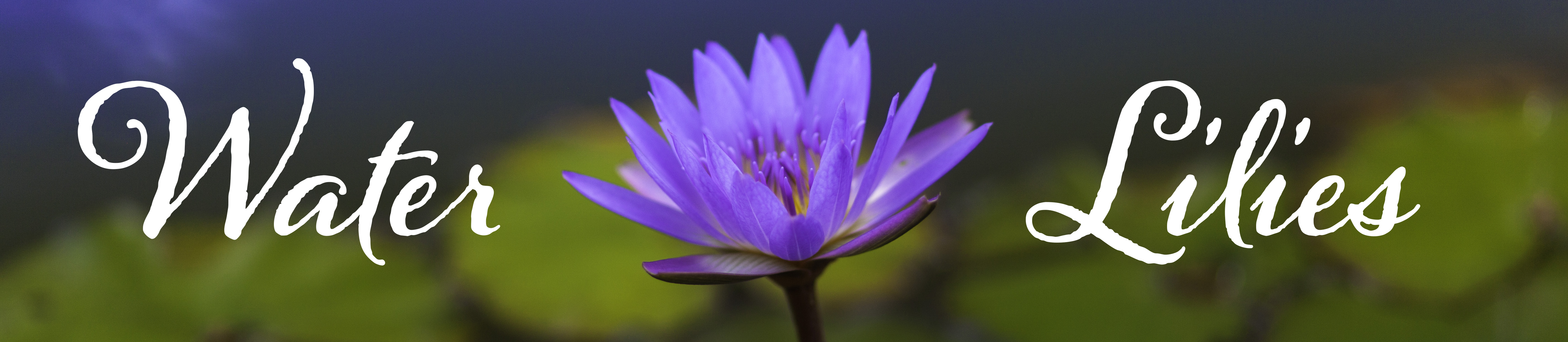 Purple Blue Water Lily