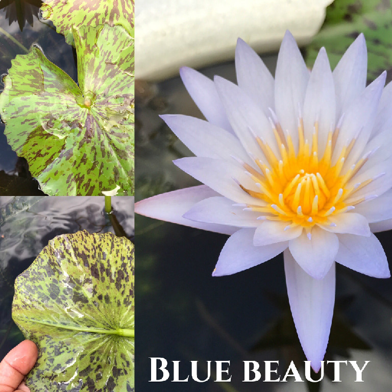 Nymphaea Blue Beauty Water Lily Aquatic Pond Flower