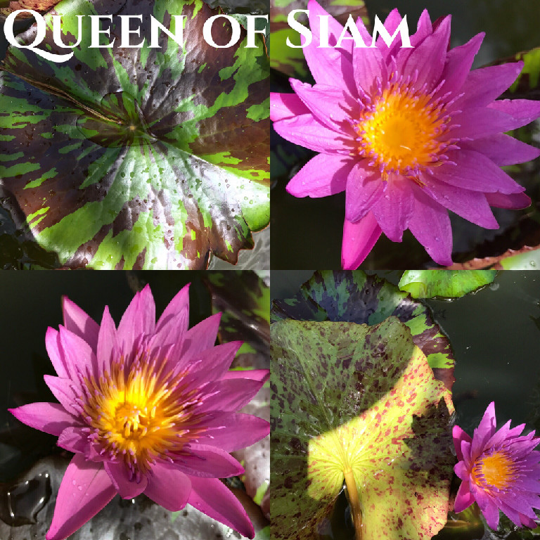 Nymphaea Queen of Siam Lily Aquatic Pond Flower
