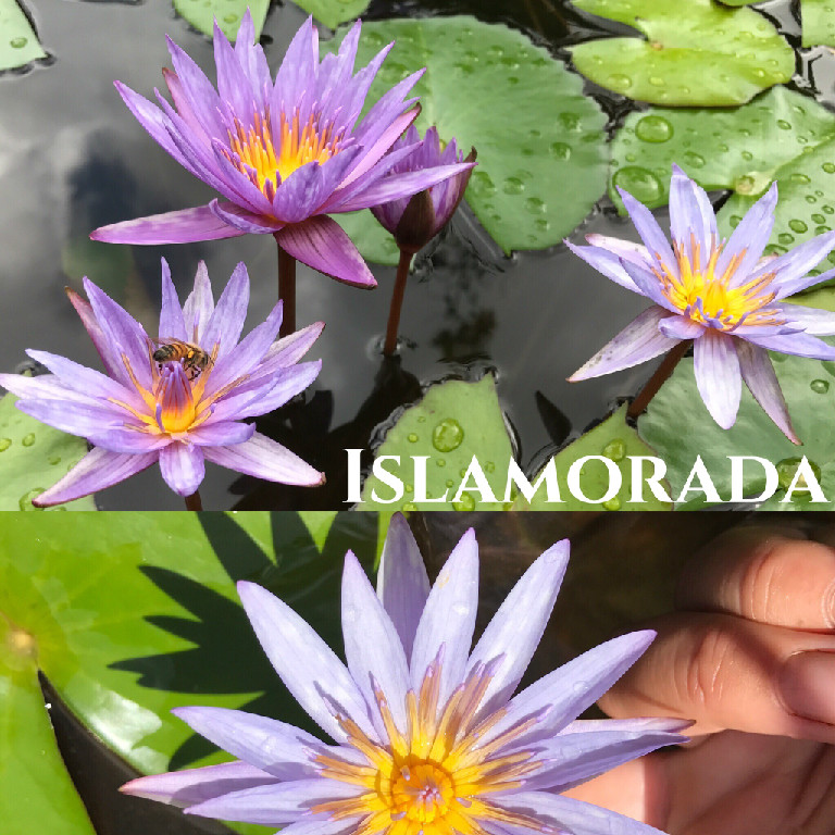 Nymphaea Islamorada Lily Aquatic Pond Flower