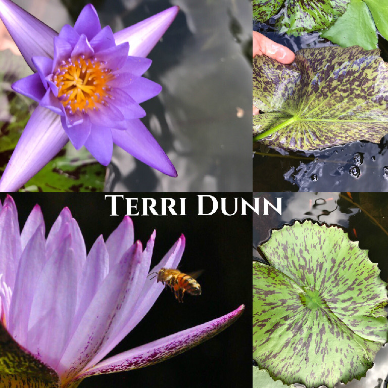 Nymphaea Terri Dunn Lily Aquatic Pond Flower