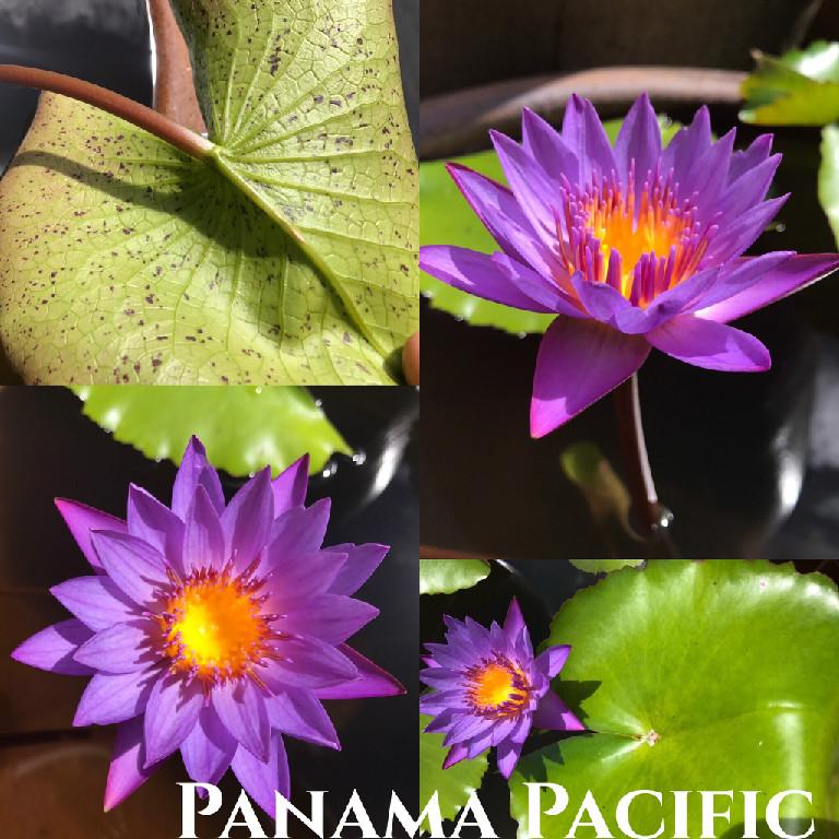 Nymphaea Panama Pacific Lily Aquatic Pond Flower