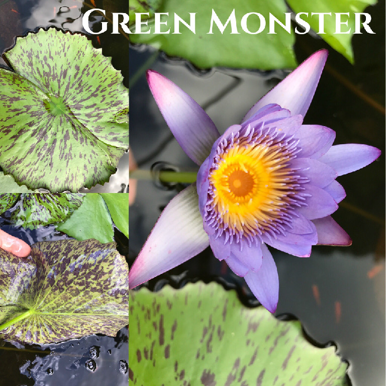 Nymphaea Green Monster Lily Aquatic Pond Flower