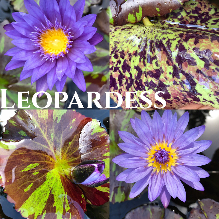 Nymphaea Leopardess Lily Aquatic Pond Flower