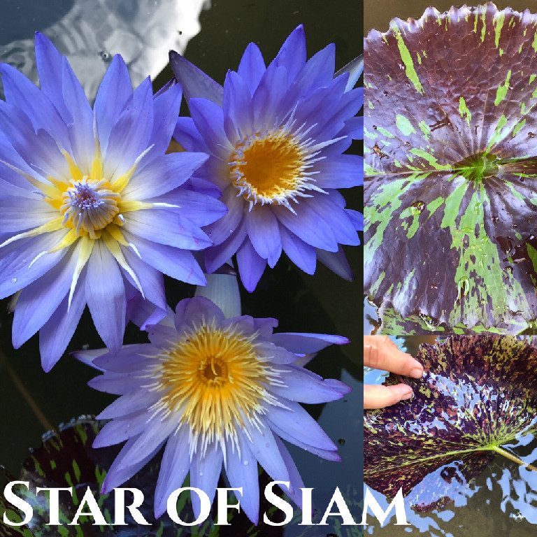 Nymphaea Star of Siam Lily Aquatic Pond Flower