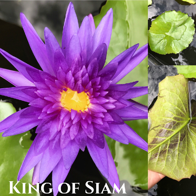 Nymphaea King of Siam Lily Aquatic Pond Flower