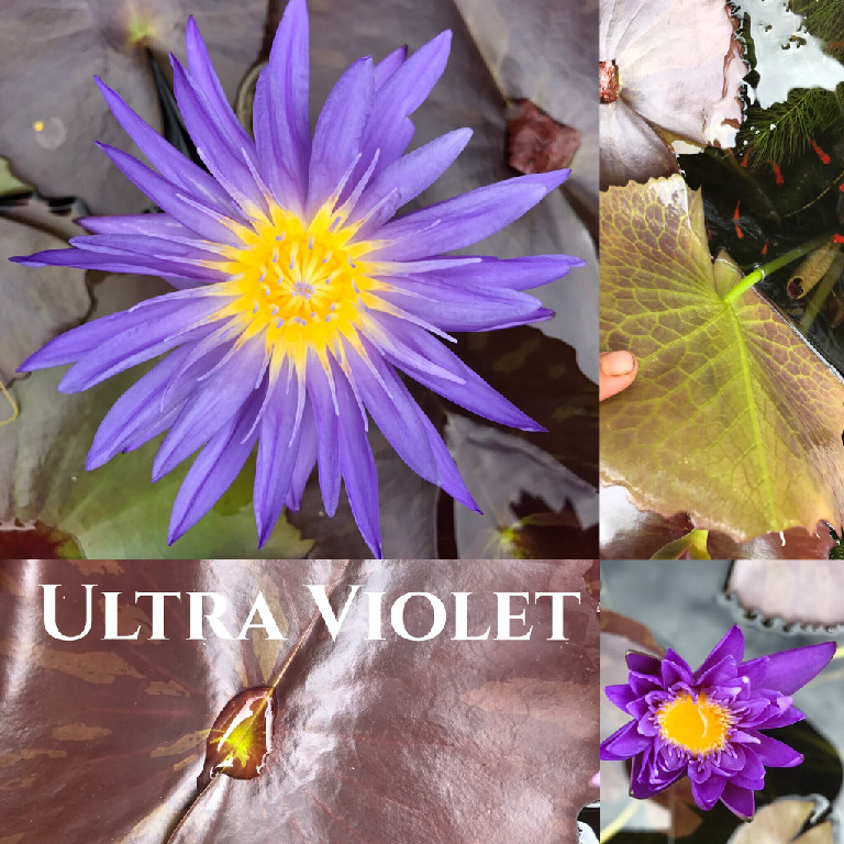 Nymphaea Ultra Violet Lily Aquatic Pond Flower