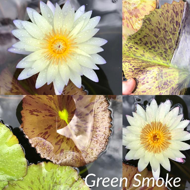 Nymphaea Green Smoke Lily Aquatic Pond Flower