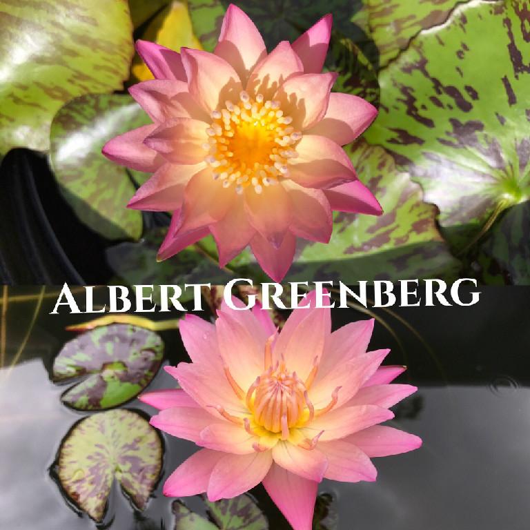 Nymphaea Albert Greenberg Lily Aquatic Pond Flower