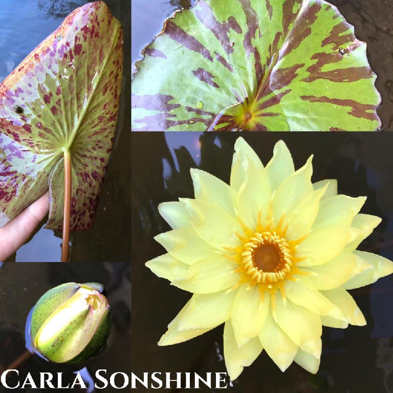 Nymphaea Carla Sonshine Lily Aquatic Pond Flower