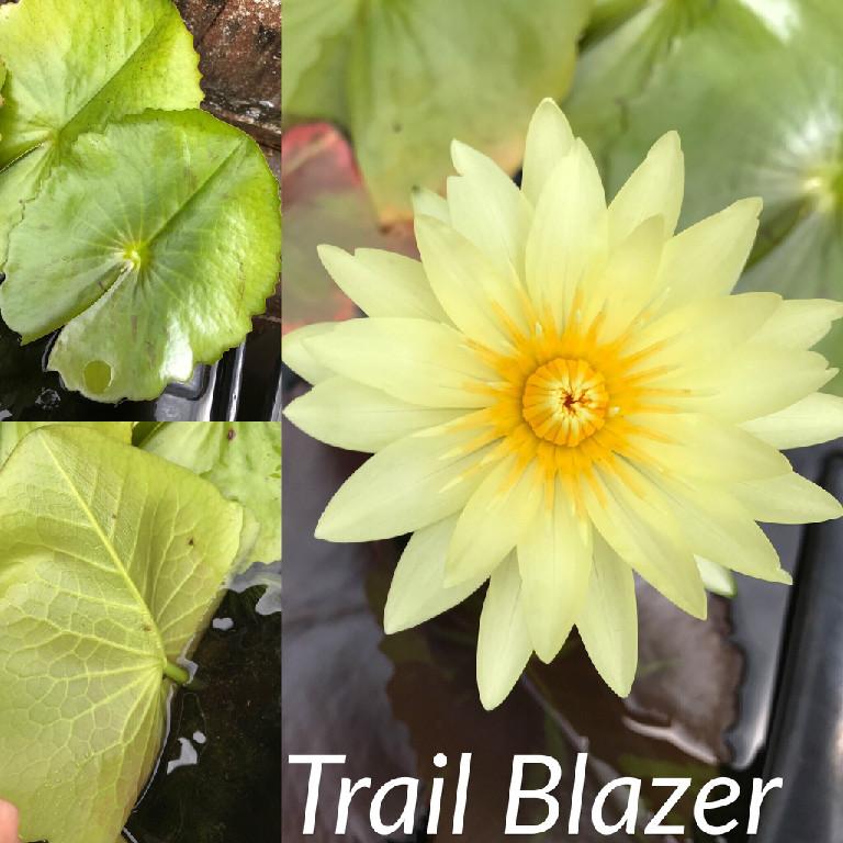 Nymphaea Trail Blazer Lily Aquatic Pond Flower