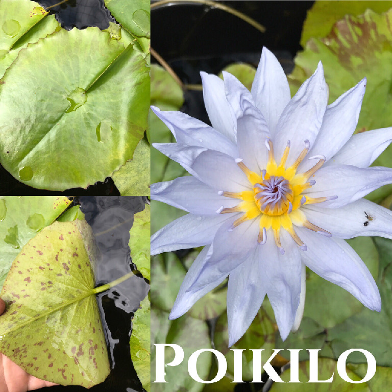 Nymphaea Poikilo Purple Water Lily Aquatic Flower Plant