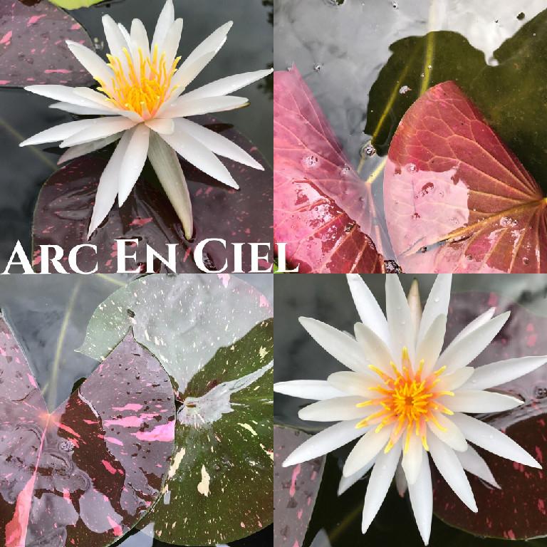 Nymphaea Arc En Ciel Lily Aquatic Pond Flower