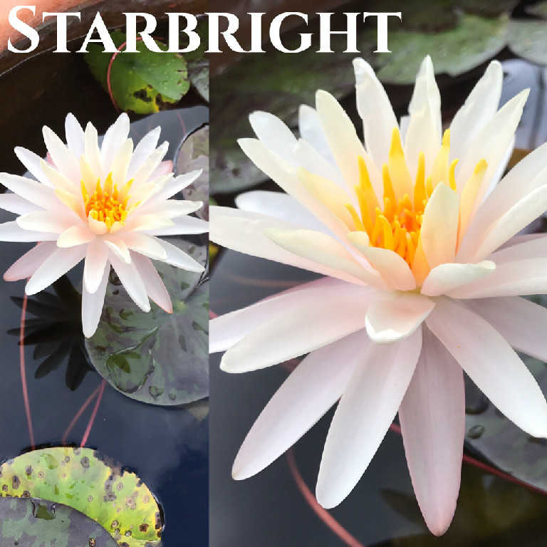 Nymphaea Starbright Lily Aquatic Pond Flower