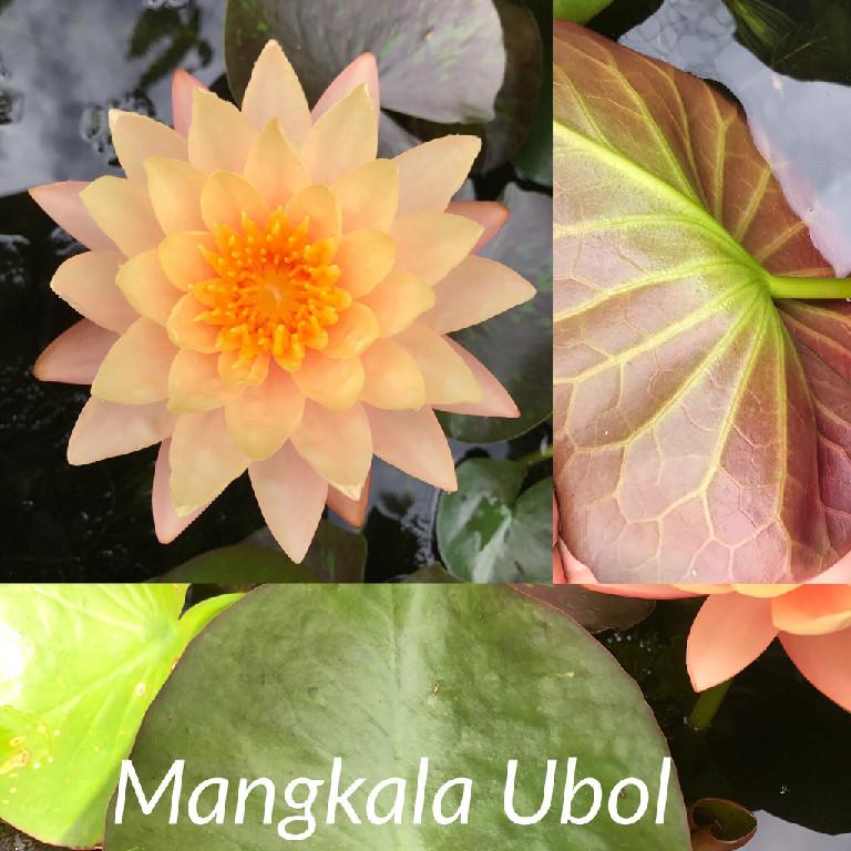 Nymphaea Mangkala Ubol Lily Aquatic Pond Flower