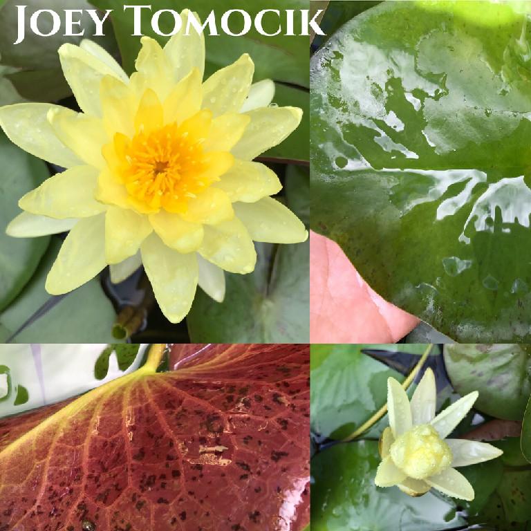 Nymphaea Joey Tomocik Lily Aquatic Pond Flower