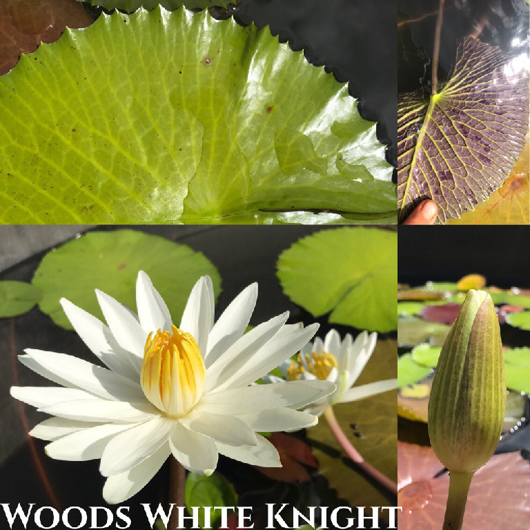 Nymphaea Woods White Knight Lily Aquatic Pond Flower