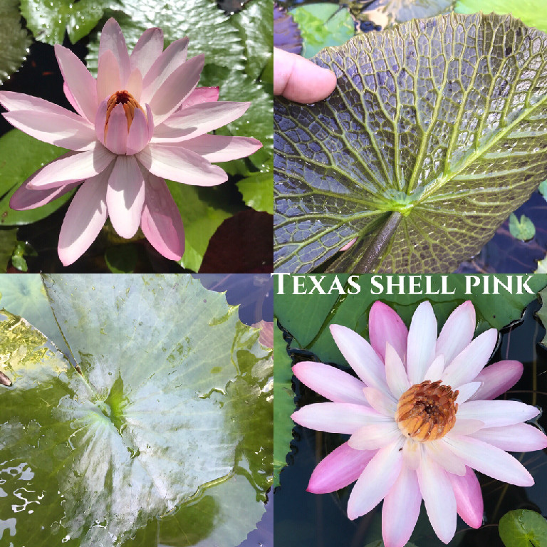 Nymphaea Texas Shell Pink Lily Aquatic Pond Flower