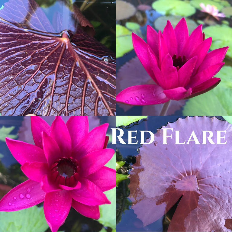 Nymphaea Red Flare Lily Aquatic Pond Flower