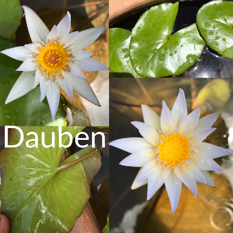 Nymphaea Dauben Water Lily Aquatic Pond Flower