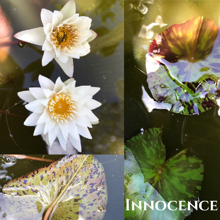 Nymphaea Innocence Water Lily Aquatic Pond Flower