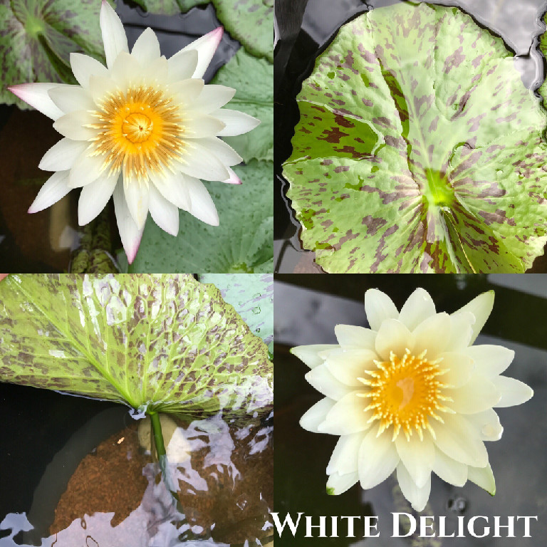Nymphaea White Delight Water Lily Aquatic Pond Flower
