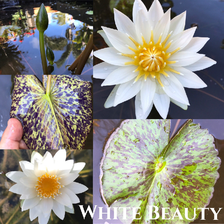 Nymphaea White Beauty Water Lily Aquatic Pond Flower
