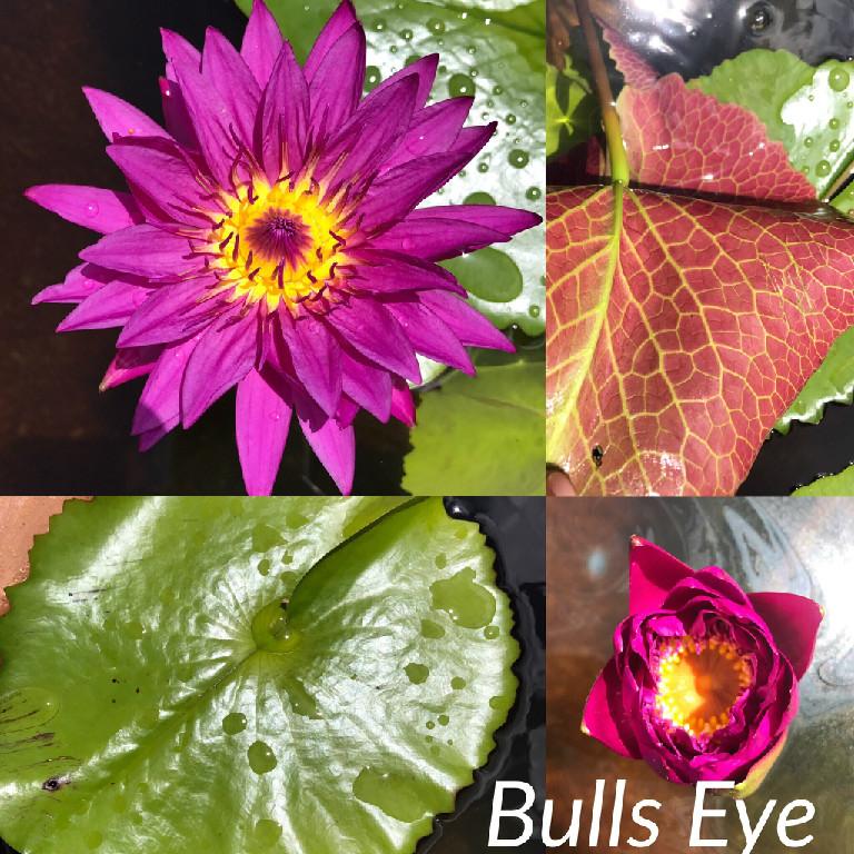 Nymphaea Bulls Eye Water Lily Aquatic Pond Flower