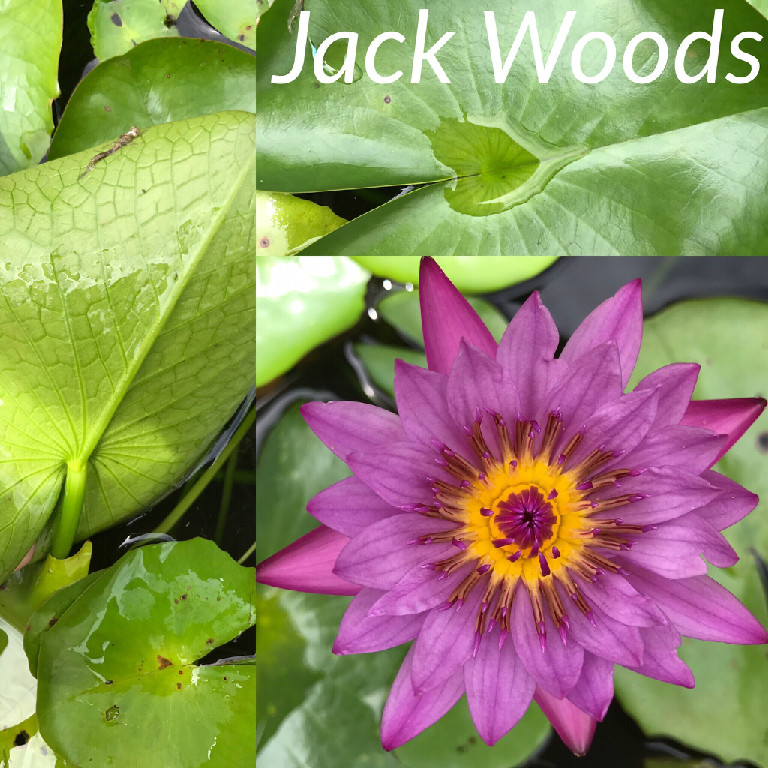 Nymphaea Jack Woods Water Lily Aquatic Pond Flower