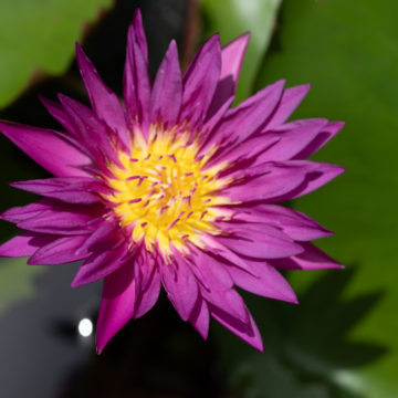deep purple water lily