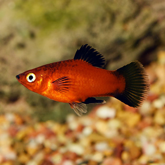 What kind of fish do I need for my Water Garden?