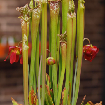 Leucophylla, Carnivorous, Garden Ponds, Sarracenia, passive pit fall trap, flowering, native to north america, marginal plant, bog plant