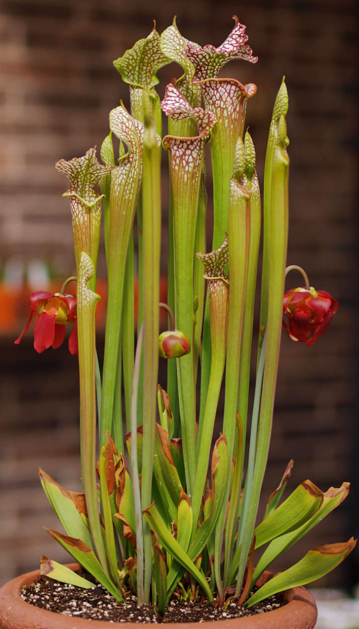 Carnivorous Plants Hawaii