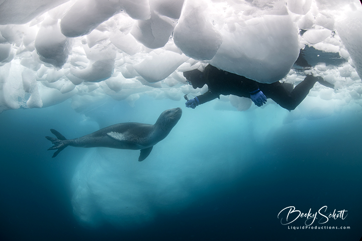 Leopard Seal being filmed under the ice