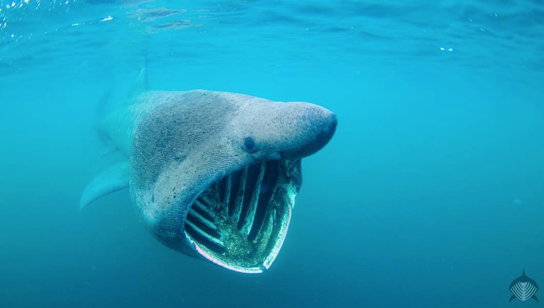 Picture of a Basking Shark
