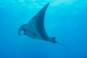 Picture of a Manta