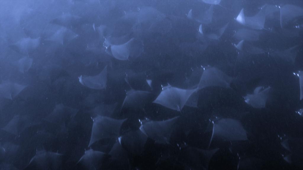 Mobula Migration - Sea of Cortez