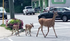 deer crosswalk