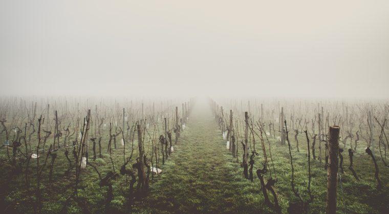 unkept vineyard
