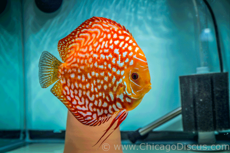 Chicago Discus | Your discus fish specialty store