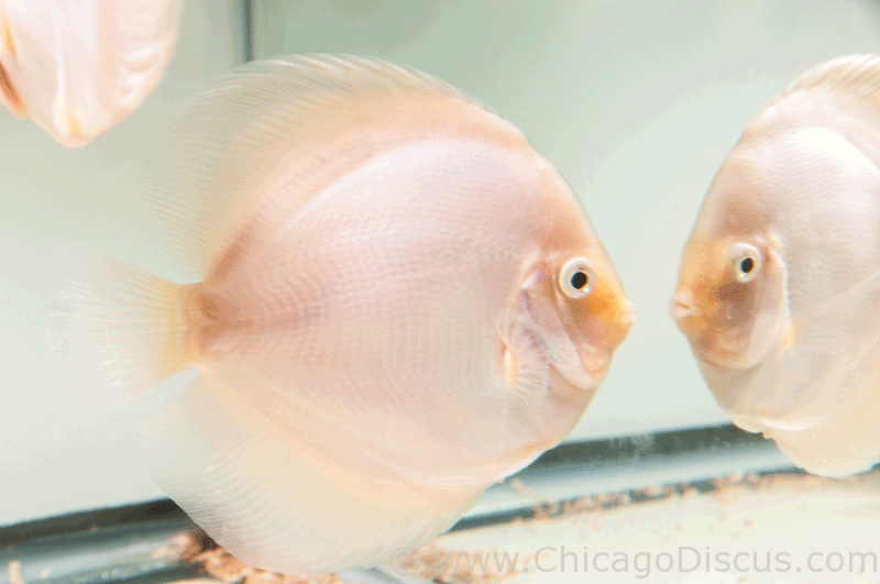 Chicago Discus Fish 2014
