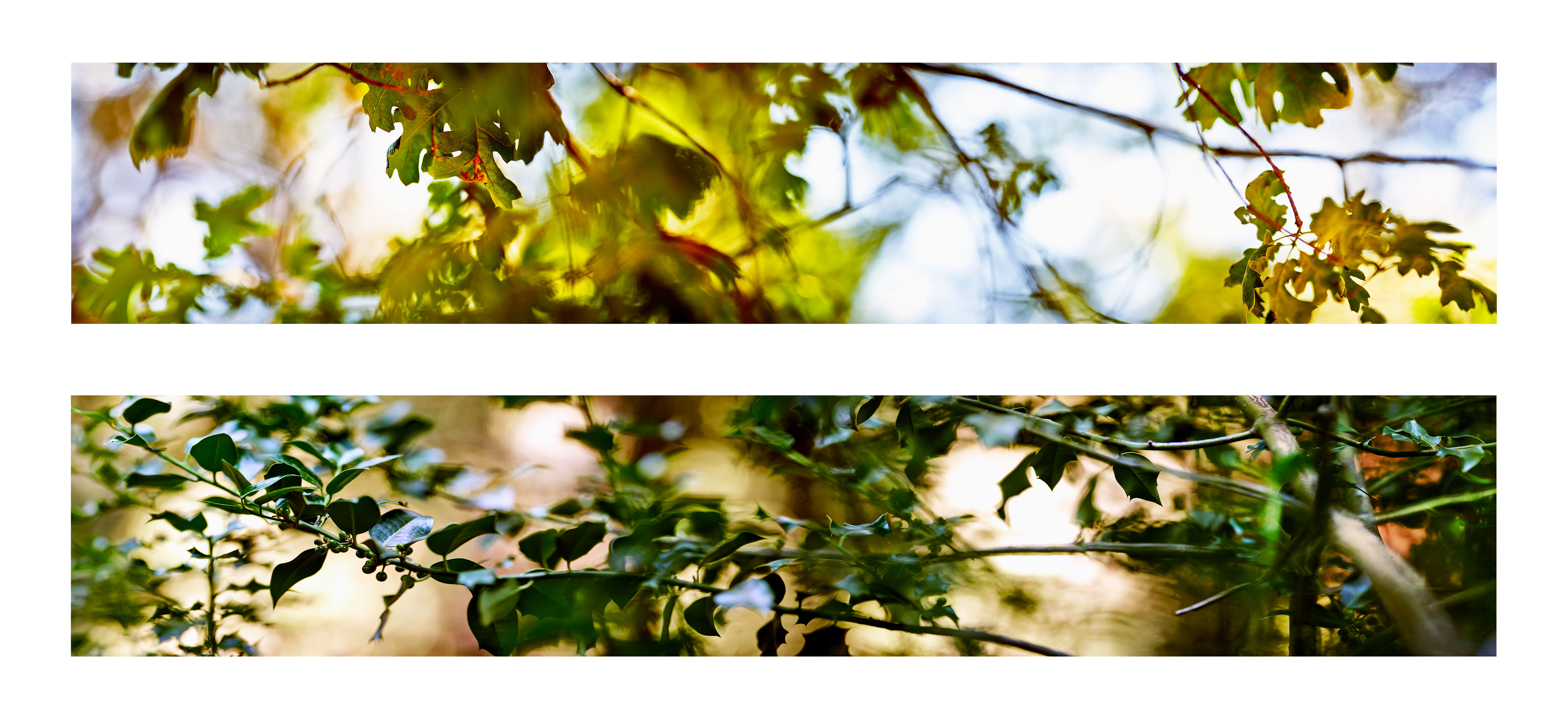 Ken Marchionno 2018 Crestline Oak and Crestline Holly / Archival ultrachrome print each 2' x 10'