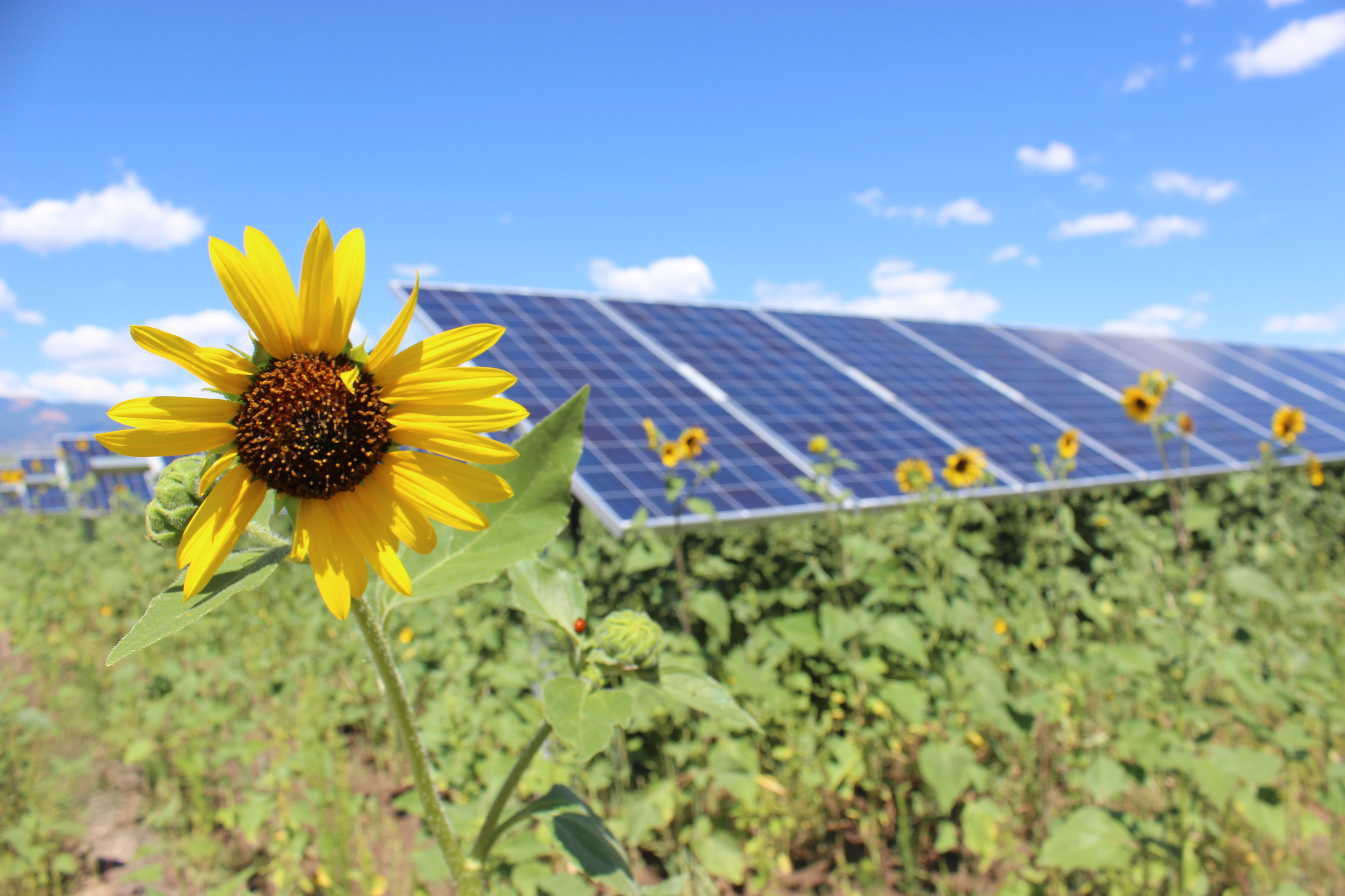 a row of solar panels and sunflowers